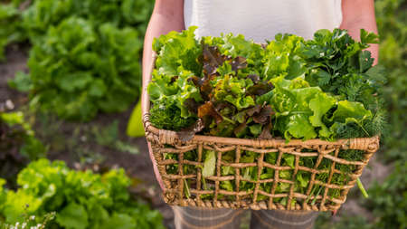 Farmer holds a basket of lettuce against the backdrop of a bed where the salad grows Imagens