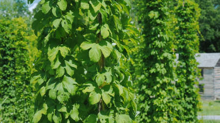 Hop farm - brewing raw materials. Green hops plants creep along the pillars Imagens