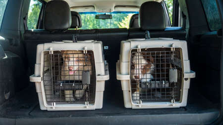 Two cages with puppies in the trunk of a car. Dog delivery