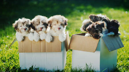 Many small puppies in two cardboard boxes on the lawn. Two boxes of happiness Imagens