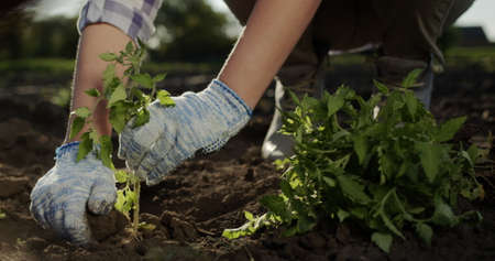 A farmer plants a tomato seedling on his bed. Hands in gloves are visible in the frame 写真素材