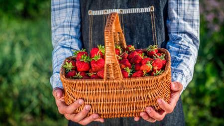 Farmers hands with a basket of strawberries