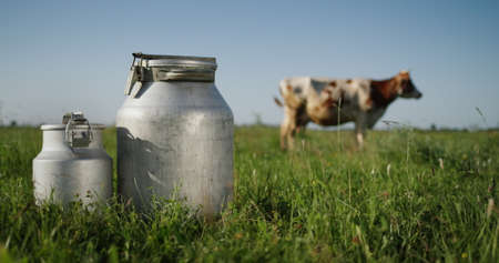 Milk bidons stand on pasture, a cow grazes in the background in the meadow 写真素材