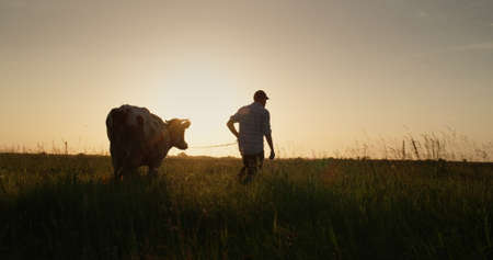The owner leads his cow through the meadow at sunset. Small farmers concept