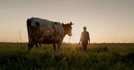 A female farmer walks with a bucket to her cow at sunset. Small agribusiness concept