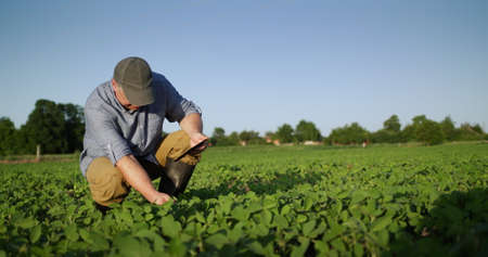 Middle-aged farmer eats soybean shoots in field, uses tablet