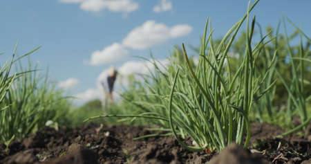 Juicy onion grows against the blue sky, in the distance a woman farmer disappears a bed