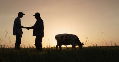 Two farmers shake hands, stand on the pasture where cows graze. Deal in agro-business concept
