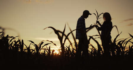Silhouettes of two farmers in a field of corn. They study the root and foliage of the plant 写真素材