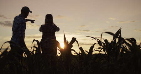 Two farmers work in a field of corn, take pictures with a smartphone 写真素材