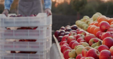 A farmer brings a box of apples from his orchard to the counter of the farmers market