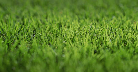 Lush green grass illuminated by the sun. Perfect lawn.