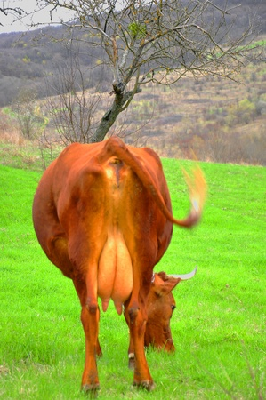 The cow grazes on a green meadow in the mountains  photo