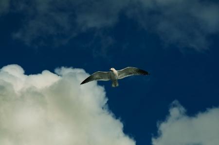 Flying seagull  against deep blue sky