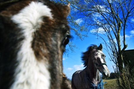 Pony freed to the field from stable to the field at sunny day