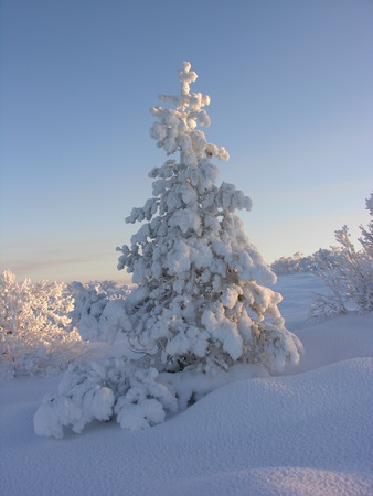Pine covered by a snow photo