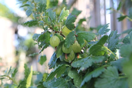trees with thorns: Gooseberry
