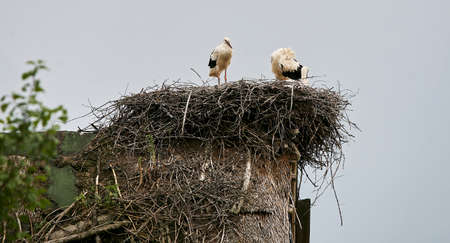 Eastern Europe, Republic of Belarus, Kachanovichi village, Pinsk district, Brest region. Old houses with thatched roofs. Nest with storks.