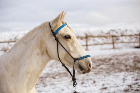 White horse runs in the winter in the snow 版權商用圖片