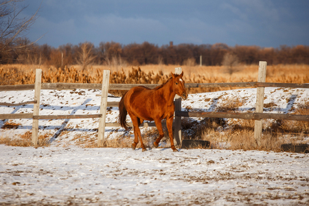 winter red horse running under snow on a sunny day Banco de Imagens