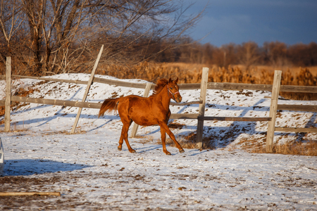 winter red horse running under snow on a sunny day Imagens