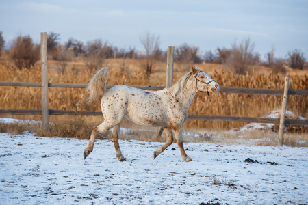 Young horse running on the snow