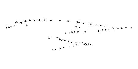 Maggiore cuneo d'oca dalla fronte bianca in volo. Vector silhouette uno stormo di uccelli.