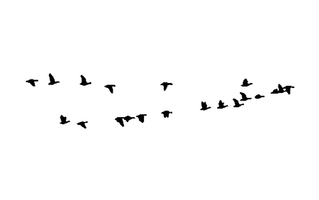 Greater white-fronted goose wedge in flight. Vector silhouette a flock of birds. Vettoriali