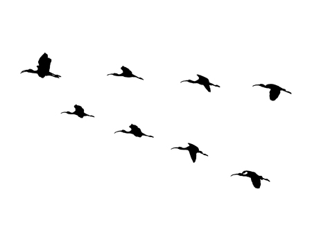 Glossy ibis wedge in flight. Vector silhouette a flock of birds. 版權商用圖片 - 111676117