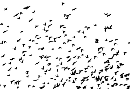 Bohemian waxwing in flight. Vector silhouette a flock of birds. 向量圖像