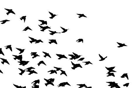 Bohemian waxwing in flight. Vector silhouette a flock of birds. 向量圖像