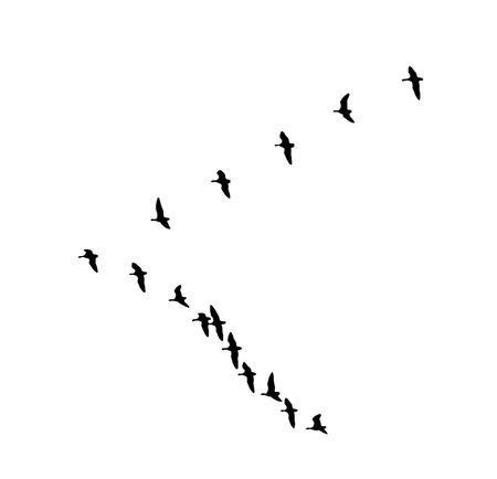 Größerer Gänsekeil mit weißer Front im Flug. Vektorsilhouette ein Vogelschwarm.