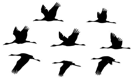 Grues cendrées dans le jeu de silhouettes de vol.