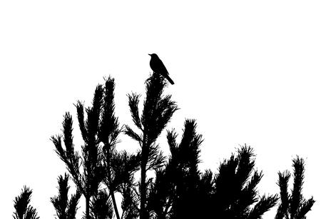 Common blackbird on pine-tree silhouette. Illustration