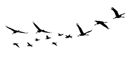 Common Crane and Goose in flight silhouettes. 向量圖像