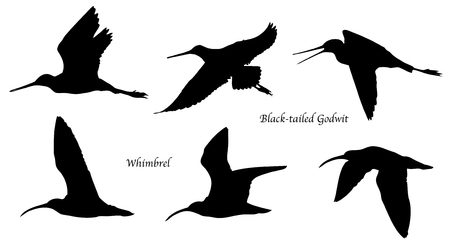 Black-tailed Godwit and Whimbrel in flight silhouettes.