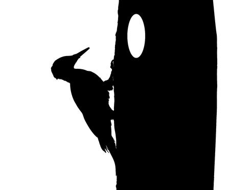 Black woodpecker on the tree silhouette.