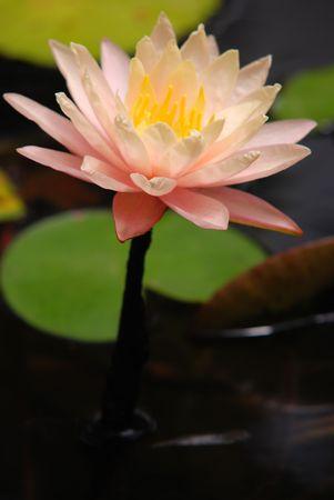 botanica: lotus