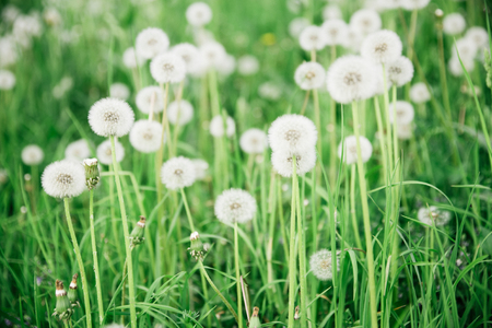 downy: Glade, covered tall grass mixed by dandelions with ripe downy seed heads closeup