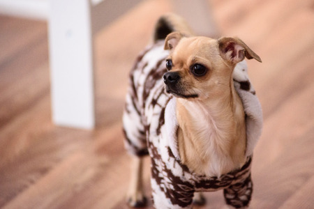 Chihuahua in a warm suit in the house looking sideways. Stock Photo