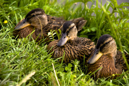 ugly duckling: Family of ducklings on a green grass