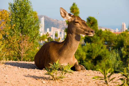 Deer laying on a hill, Terra Natura, Spain photo
