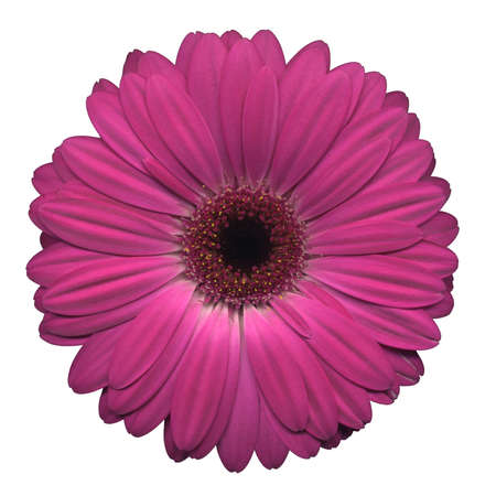 Pink gerbera on a white background photo