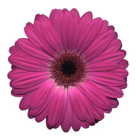 flores de cumplea�os: Rosa gerberas sobre un fondo blanco