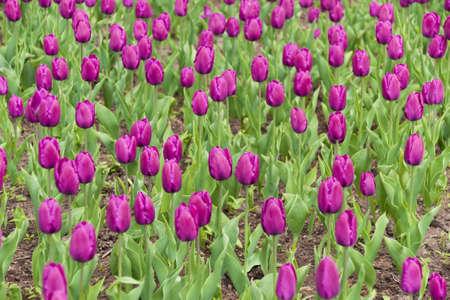Campo de tulipanes morados Foto de archivo - 4914932