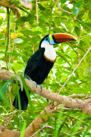 Toucan on branches, Terra Natura