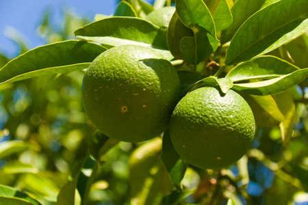 Green tangerines photo