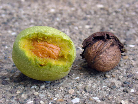 Walnuts (young and old)