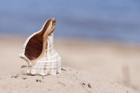 The sea cockleshell dug half in beach sand. (close up)