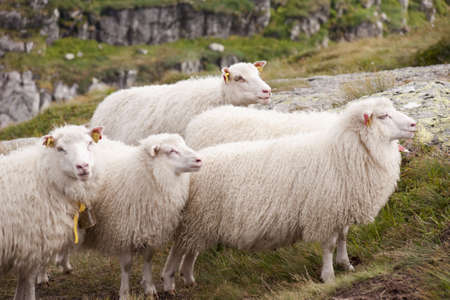 Group of mountain sheep are grazed on the nature Stock Photo